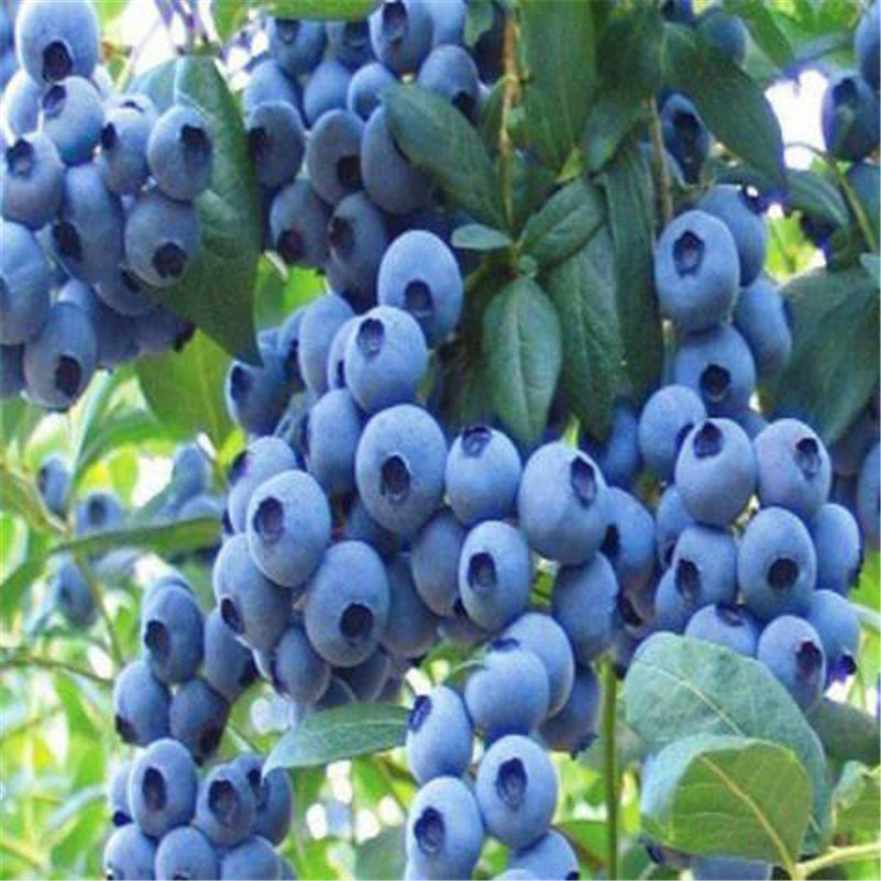 Blueberry Sapling Seeds Potted Plant Ground Plant Blue Plum Tree Sapling Seed