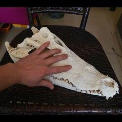 1 Uds., Animal Real, Cráneo, anfibio, rastreo taxidermia 8-16 pulgadas (de la granja)