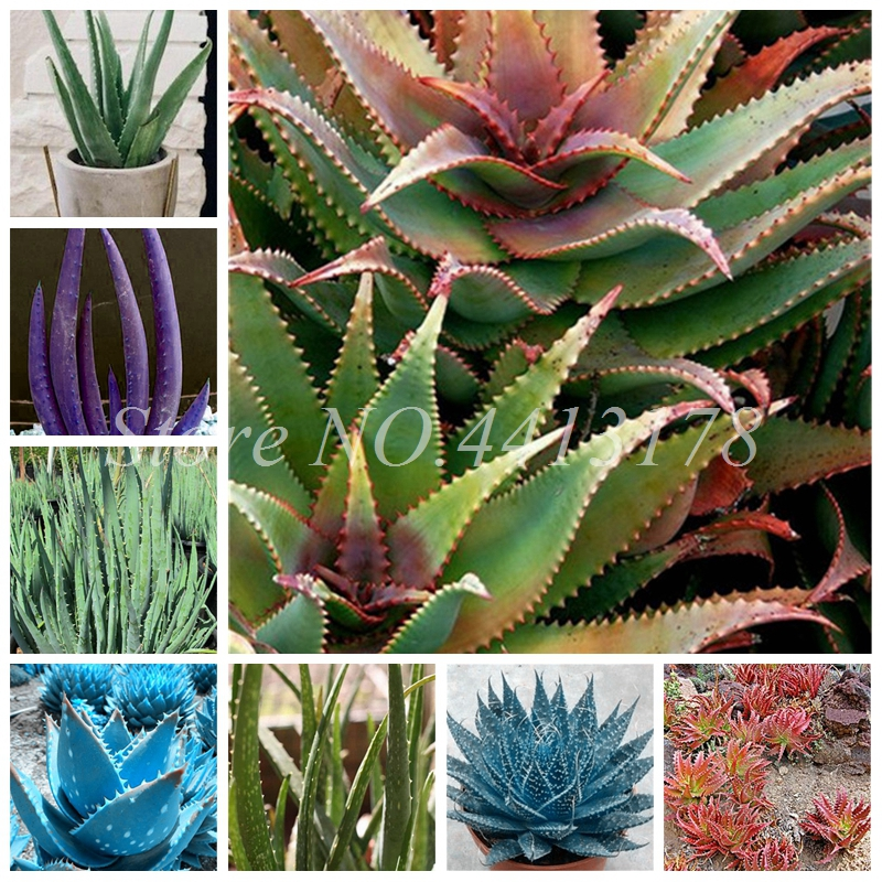 150 Pcs Aloe Vera Potted Succulent Lucky Aloe Plants Indoor Bonsai Edible Garden Beauty Fruit Vegeable Pot Planta Easy Grow
