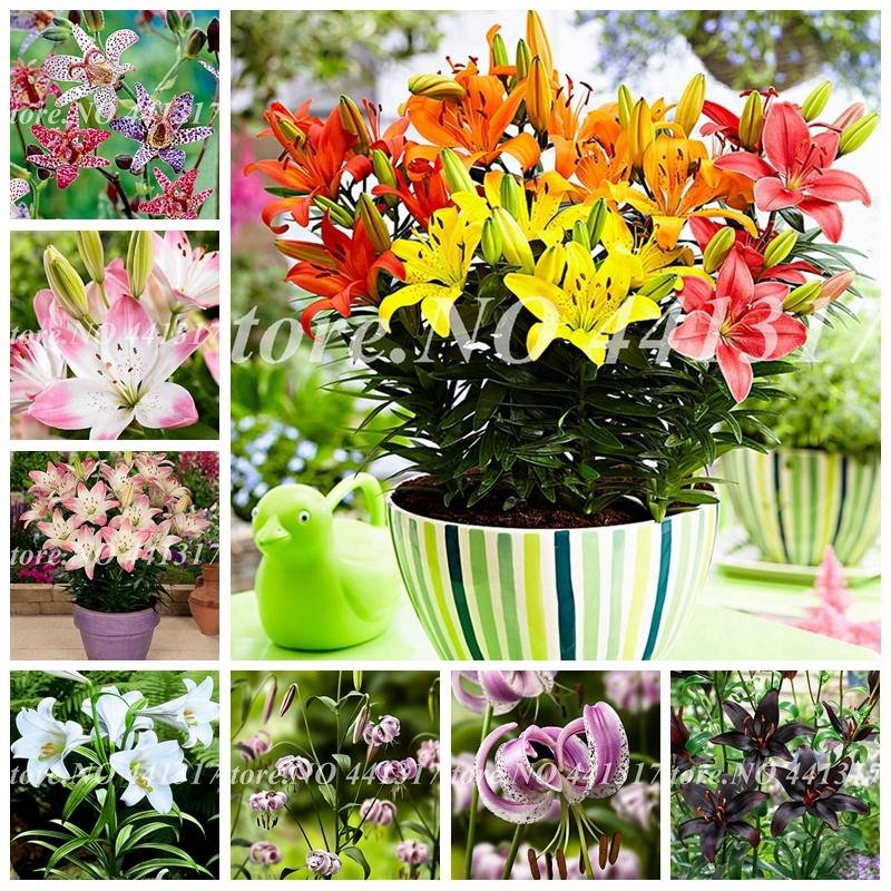100 Pcs/ Bag Mixing Color Special Lily Flower Plant Potted Bonsai Plant Lily Flower Plants For Home Garden Purify Indoor Air
