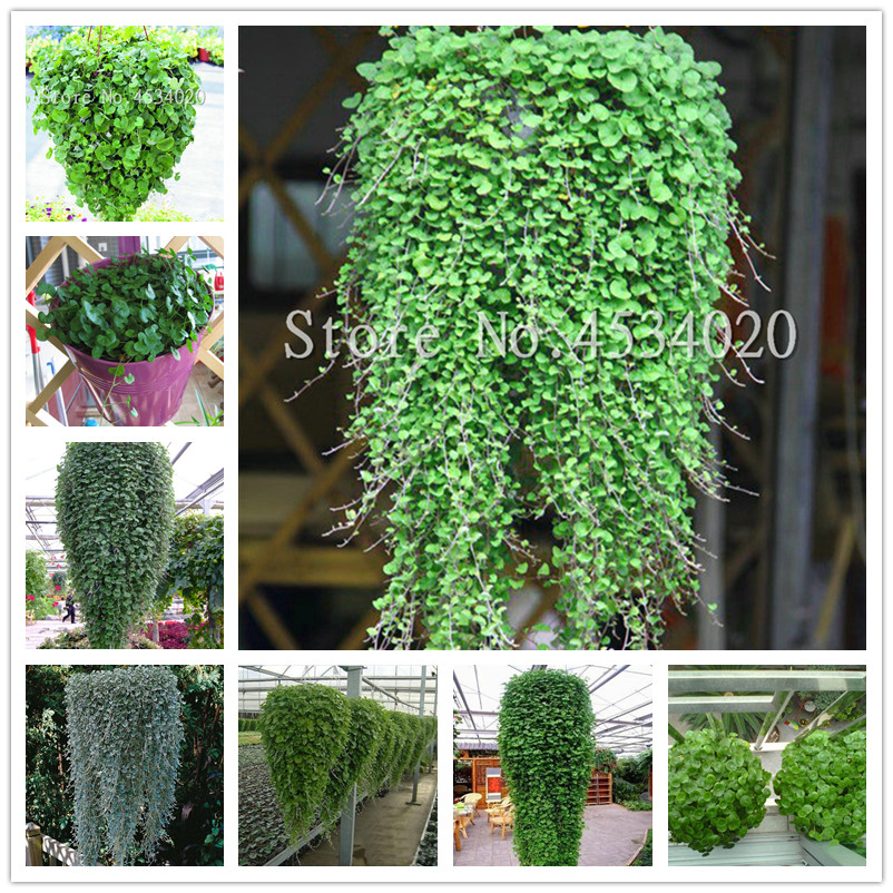 200 Pcs/Bag Dichondra Repens Bonsai (Emerald Falls) Multi Leafed Grass Bonsai Green Perennial Plant Dichondra Bonsai