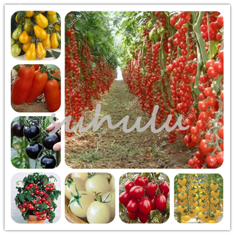 Time-Limited! 200 Pcs Organic Tomato Bonsai, Aquarius Excluded Very Easy Interest Annual Sementes Organic Vegetable Balcony Bons