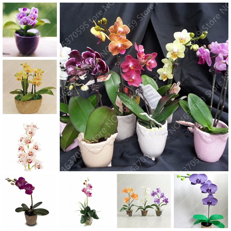 100 Pcs Japanese Mini Orchid Bonsai Flores Plant World's Rare Orquideas Flowers Orchidee For Garden Home Pot Purify The Air