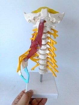 1:1 Life Sized Human Cervical Spine Posterior Occipital Bone Nerve Neck Muscle Model  Skeleton Teaching Aids