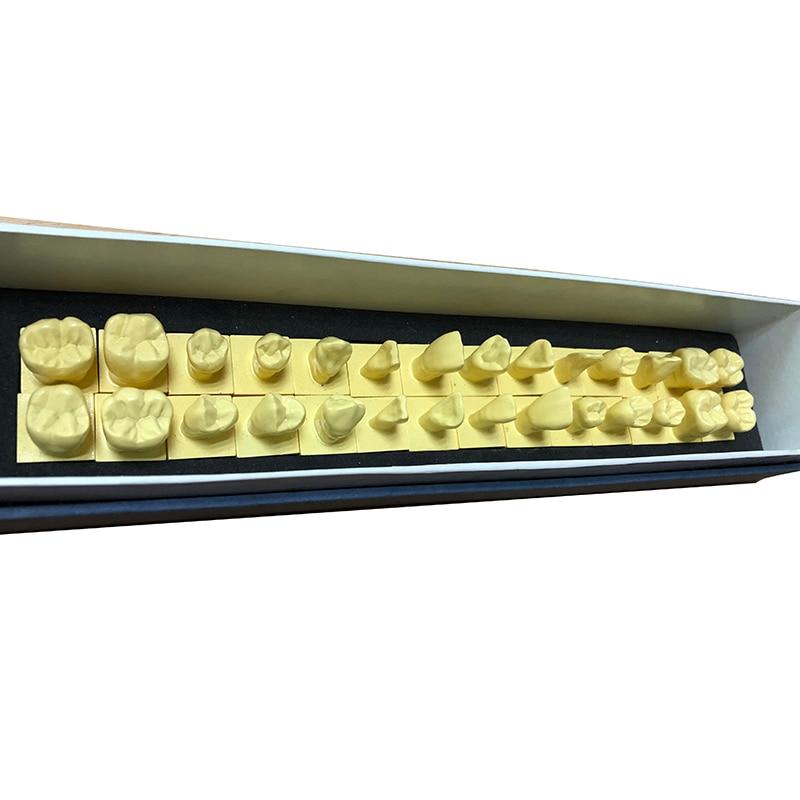 1 Set Permanent Teeth Model With Base 1:1 Size Dental Tooth Teeth Dentist Dentistry Anatomical Anatomy Shape Model