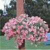 Garden Petunia A12