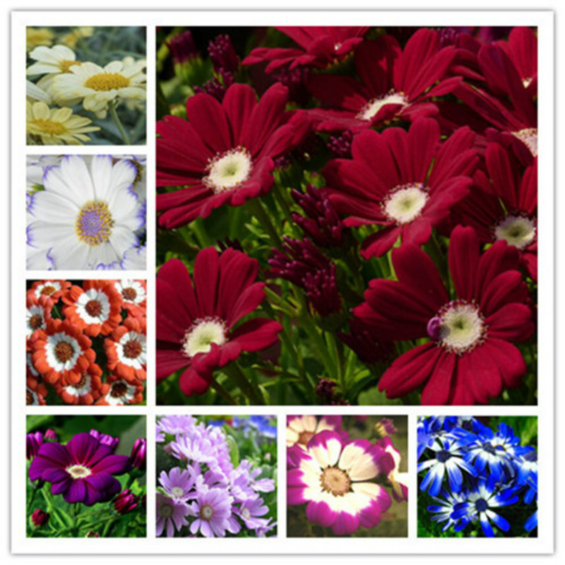 100Pcs Cineraria Chrysanthemum,false Flower Bonsai Plants Flower Pot Simulation Of Artificial Flowers Potted Gift