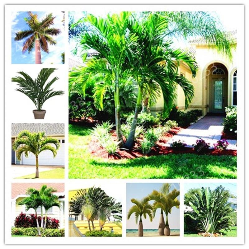 10 Pcs Palm Flores Bonsai, Ravenala Madagascariensis Chinese Fan Palm Plant,Tall Evergreen Tree Diy Garden,budding Rate 97%