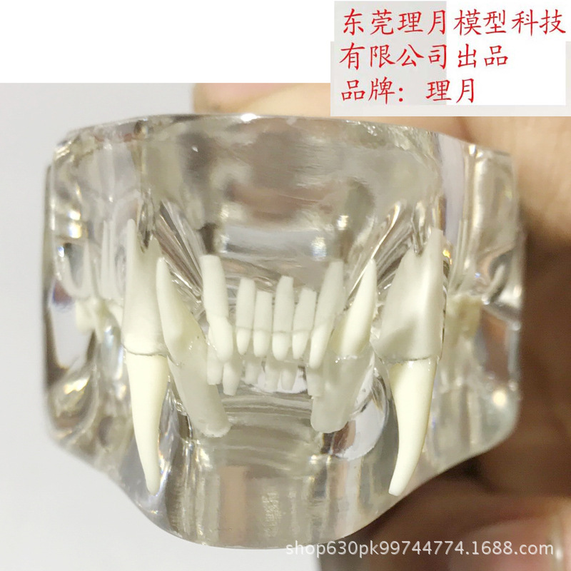 Image 5 - Anatomical Felidae Pathology Jaw Model Medical Cat Mouth and Teeth Anatomy Clear Feline esqueleto anatomia-in Educational Equipment from Office & School Supplies