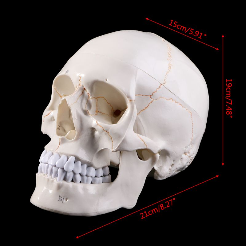Life Size Human Skull Model Anatomical Anatomy Medical Teaching Skeleton Head Studying Teaching Supplies D08B