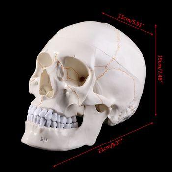 Life Size Human Skull Model Anatomical Anatomy Medical Teaching Skeleton Head Studying Teaching Supplies D08B 3x life size ocular anatomy eyeball model enlargement pupil vision correction for medical education school