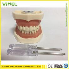 Modelo de dentes dentários de alta qualidade modelo credenciado modelo de ensino dental modelo de demonstração dente com removível 28/32 pces dentes