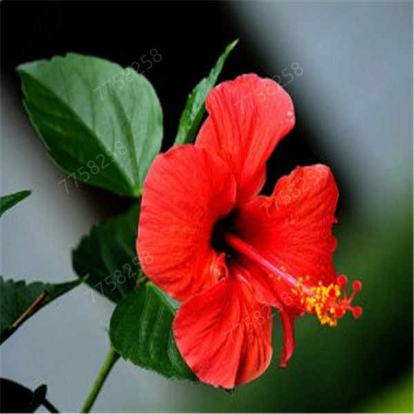 100Pcs On Sale! Hibiscus Rosa-sinensis Perennial Flower plant Bonsai Big Blooms Red Green Blue Purple Colorful Gard