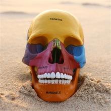 4D мастер человеческий череп красочная модель медицинская наука Скелет собранная модель