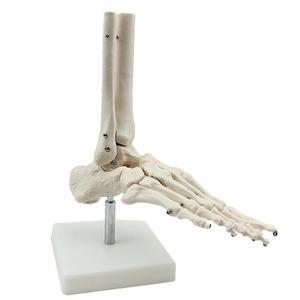 Image 1 - חיים גודל מפרקים ועצמות של רגל האנטומיה אדם רגל וקרסול דגם עם שוק עצם מודלים אנטומיים