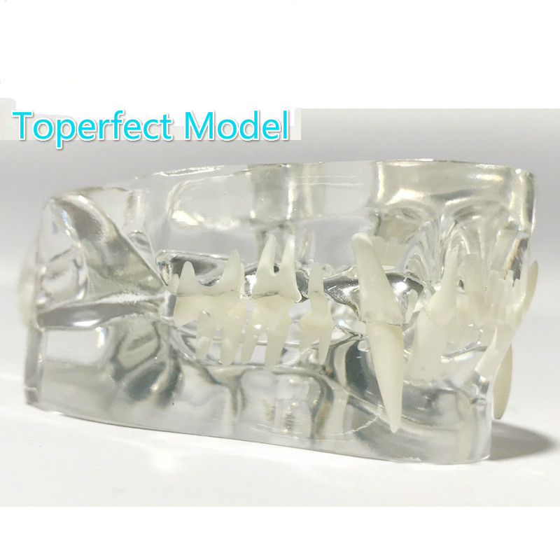 Image 2 - Anatomical Felidae Pathology Jaw Model Medical Cat Mouth and Teeth Anatomy Clear Feline esqueleto anatomia-in Educational Equipment from Office & School Supplies