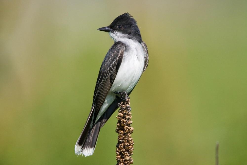 Eastern Kingbird b13-42-050_V