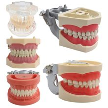 Dental Model Teeth Model Dental Teaching Model Standard Model with 32 Screw-in Teeths Demonstration Soft Hard Gum 28 24 Teeth