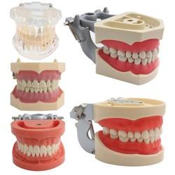 Dental Model Teeth Model Dental Teaching Model Standard Model with 32 Screw-in Teeths Demonstration Soft Hard Gum 28 24 Teeth