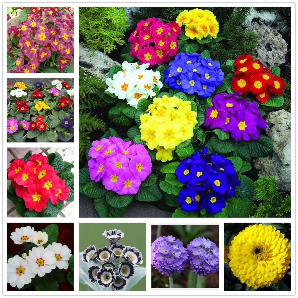 Plant Flowers Bath Salts Primula Essence 100Pcs XZZ-115