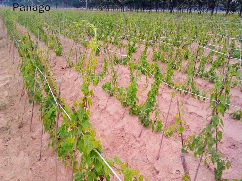 5 قطعة يام الحديد المشتركة يام رهيزوم من المشتركة يام ديوسركوري Rhizoma عالية التغذية الخضار لحديقة صغيرة