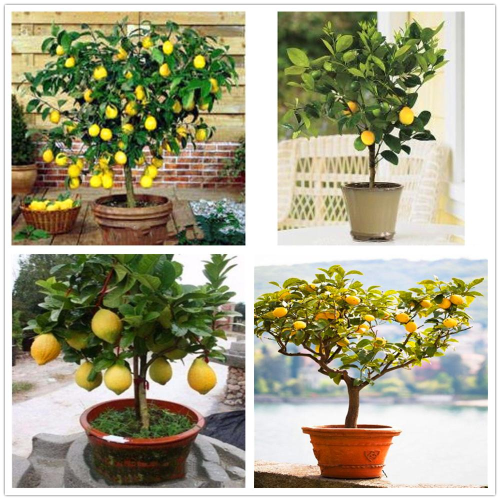 Plant Flower Bath Salts Rare Dwarf Lemon Tree Essence 30Pcs XZZ-245
