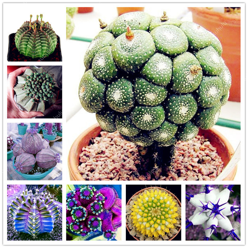 200 Pcs Euphorbia Obesa Succulent Bonsai Fresh Succulent Plant Bonsai Home Rock Garden Gorgeous Round Leaf Rare Succulents