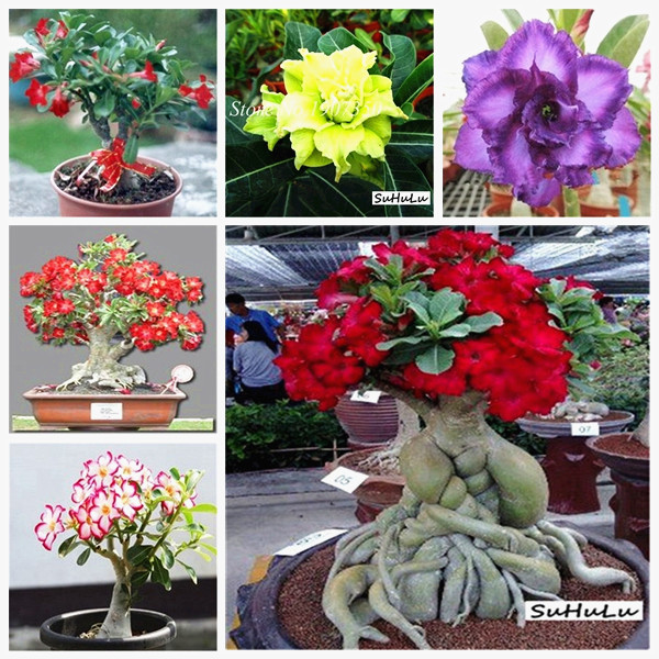 100% True Adenium Obesum Bonsai Exotic Desert Rose Flowers Balcony Desert-Rose Bonsai MultiColor Petals Succulents Tree 1 Pcs