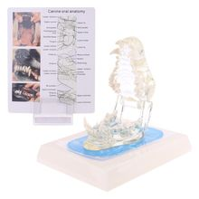 Transparent Dog Teeth Jaw Tooth Model Anatomical Teaching Demonstration Veterinary Dentition Canine