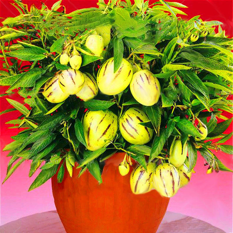 Plant Fruits Bath Salts Red Color Sweet Melon Essence 140Pcs SG-12-A