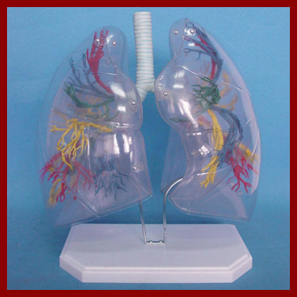 Transparent Lung Segment Model Lung Anatomy Bronchial Tree Model Thoracic Surgery Respiratory Specimens Human Lung Model