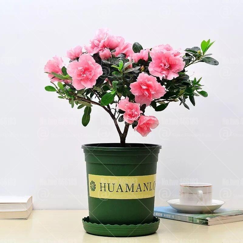 2pcs Pink Gardenia Bulbs Bonsai Plants Cape Jasmine Flower Pot Perennial Indoor Flowering Plant Home Garden Plants