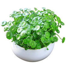 50 Pcs/Tas Tembaga Rumput Air Tanaman Bonsai Tahunan Ornamen Taman Air Dingin Biji Bunga Pilea Biji Indoor Putdoor Pot Bibit(China)