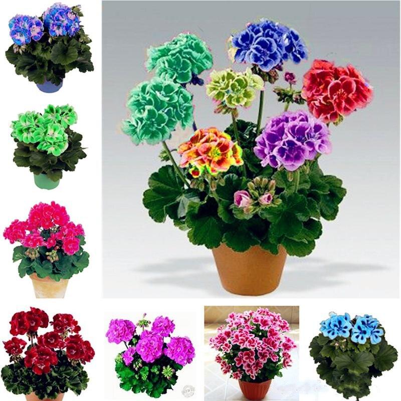 100Pcs Drawf Bonsai Geranium Seeds Garden Nature Plants Home Fragrant Rare Variegated Geranium flower Essence Lip Mask ZG-S6