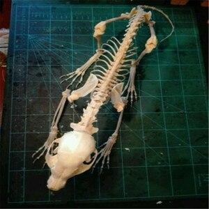 Vulpes raposa vermelha, raposa de prata, cruz crânio de raposa completa animal esqueleto espécime osso animal decorações do dia das bruxas festa barra