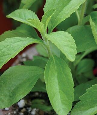 Stevia 200