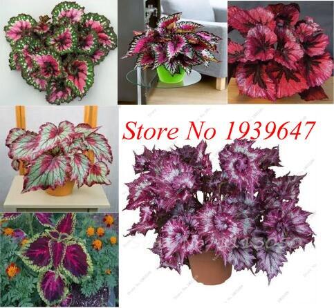 100pcs / Bag Beautiful Begonia Bonsai Flower Bonsai Potted Ornamental Garden Coleus Balcony Patio For Home Garden