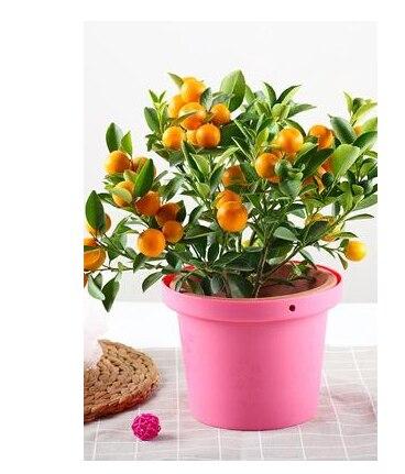 Small Potted Seeds Four Seasons Orange Citrus Indoor Planting Balcony Sementes´ Plantas Frutiferas