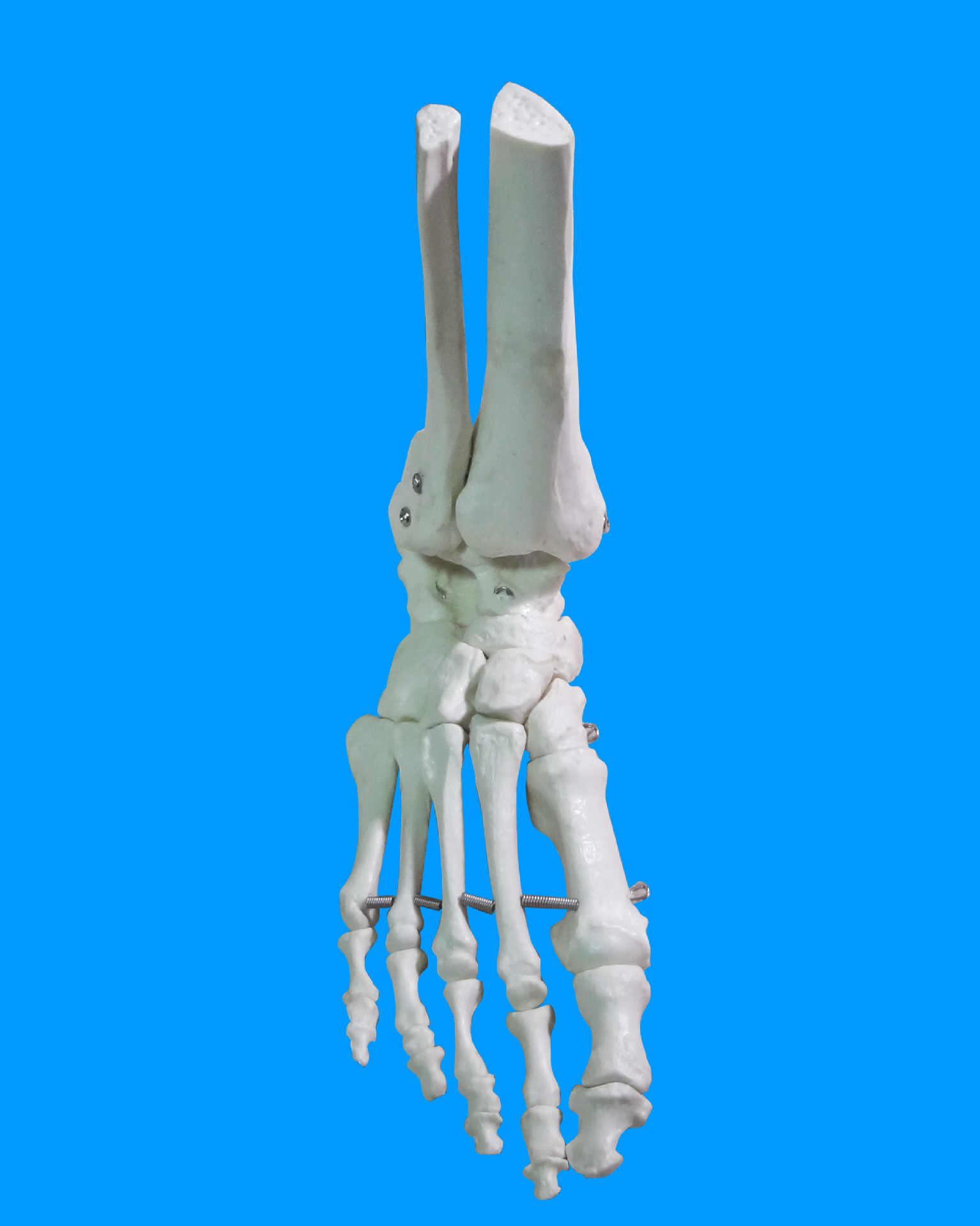 1:1 articulación del tobillo del pie humano articulación del hueso modelo médico esqueleto de anatomía modelo proveedor de herramientas de enseñanza