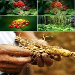 Натуральный органический экстракт корейского красного женьшеня RADIXGINSENGRUBRA, AFG AF, повышающий иммунитет Panaxginseng C. A. Mey 300 г
