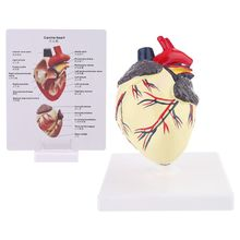 Dog Heart Anatomy Model Canine Pet Animal Organ Study Teaching Science Aid Education Research