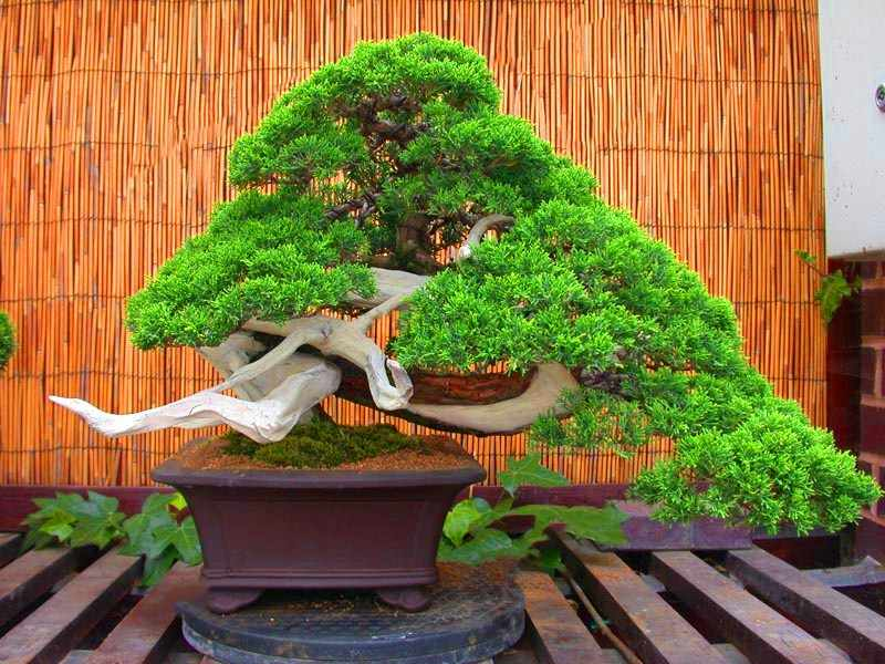 20pcs ญี่ปุ่นสีดำ Pine Bonsai ในร่มบอนไซต้นไม้ยืนต้นไม้พืชสำหรับตกแต่งบ้านสวน Potted พืชปลูก