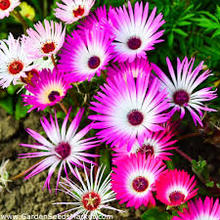 50 sztuk King #8217 s dywan kwiat darmowa wysyłka tanie tanio NONE