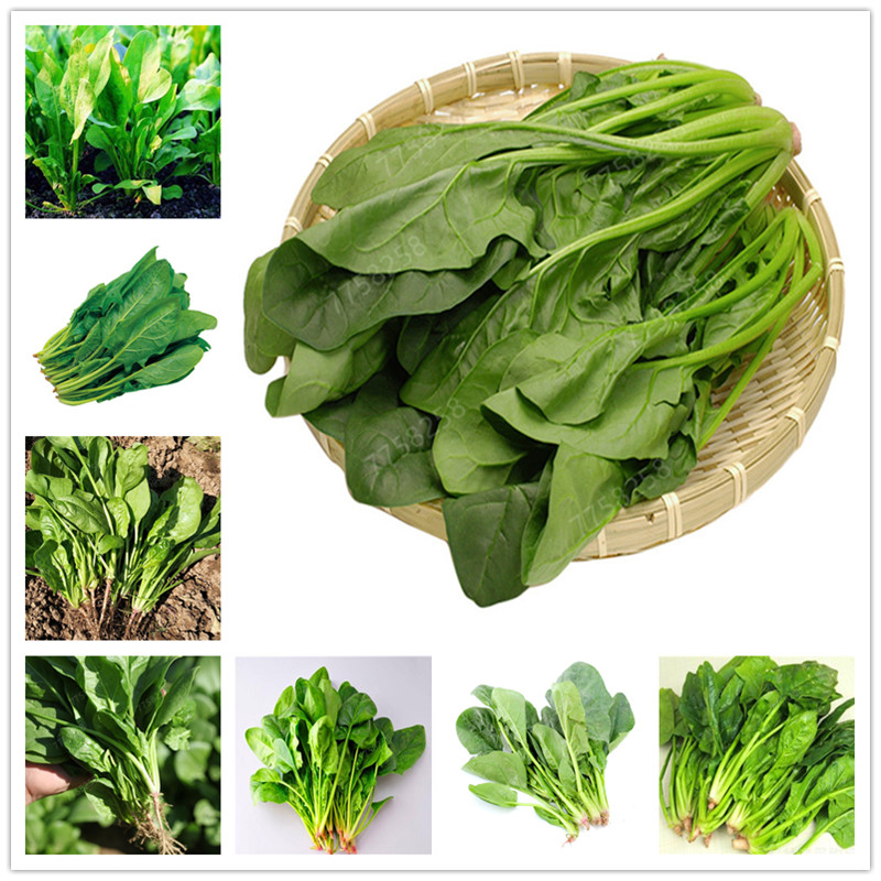 100pcs Water Spinach Vegetable Penzai Kangkong,Chinese Spinach Or Watercress Time Limit Promotion Spinach Penzai Organic Green