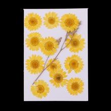 Chrysanthème de fleurs séchées naturelles pressées 12X pour la fabrication de cartes de Scrapbooking