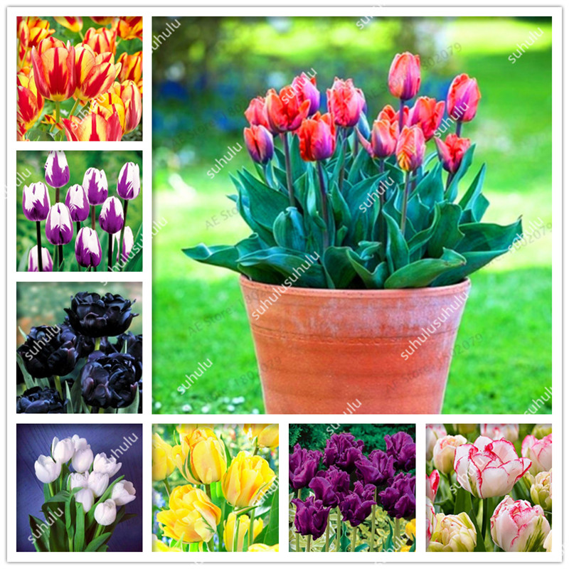 100 Pcs Tulip Bonsai Tulip Flower Beautiful Tulipanes Flower Plant For Garden Plants(Not Tulip Bulbs ) Flower Symbolizes Love