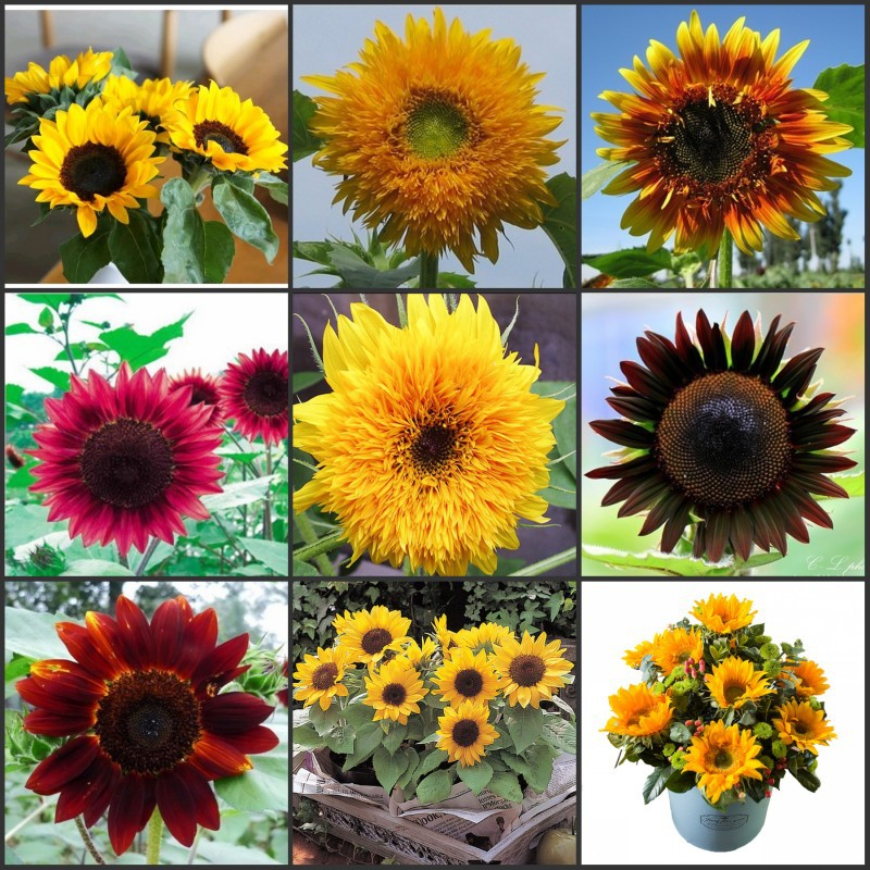 100pcs High-quality Oil Sunflower Seeds, Dwarf, Big Head Sunflower, High Yield, High Resistance, High Oil Yield Garden Tools