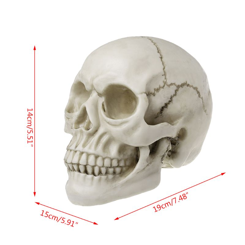 Resin Human Art Skull Replica Teaching Model Medical Realistic 1:1 Adult Size For College Supplies Art Medial Student