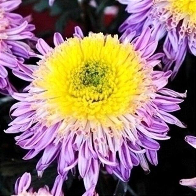 Plant Flower Bath Salts Colorful Peony Chrysanthemum Essence 100Pcs XZZ-138 1