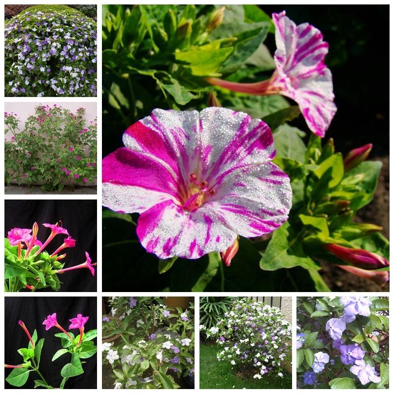 30 Pcs/ Bag Multi-color Mirabilis Exotic Aromatic Bonsai Potted Perennial Bloom Jasmine Ornamental Plant For Flower Pot Planters